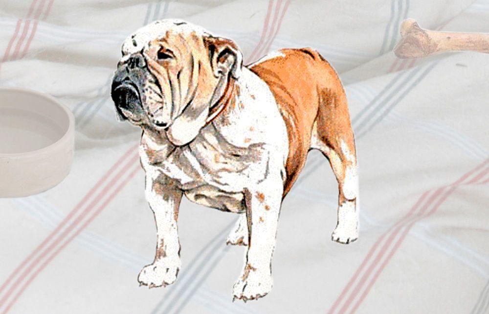 Bulldog (English)