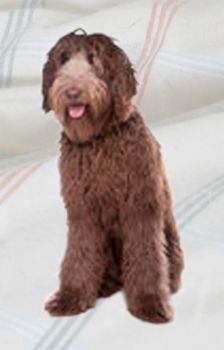 Labradoodle (Chocolate)