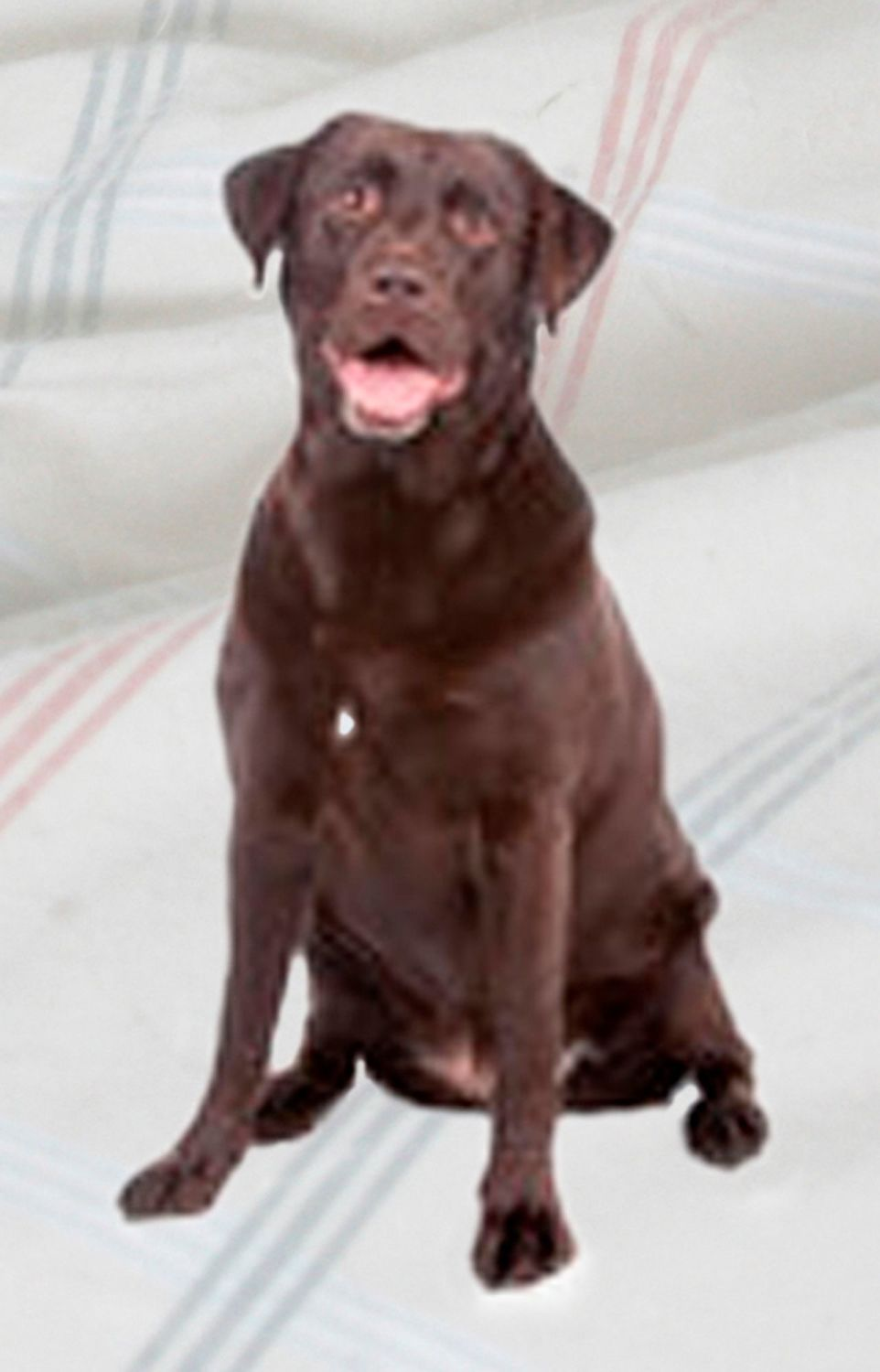 Labrador (Chocolate)