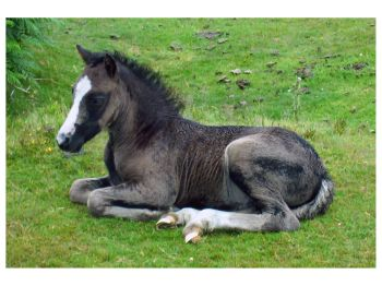 Animals - New Forest Pony