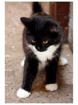 Animals - Black & White Kitten