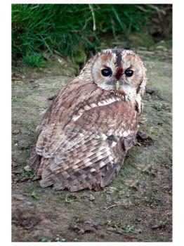 Animals - Tawny Owl
