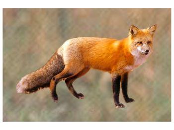 Animals - Fox