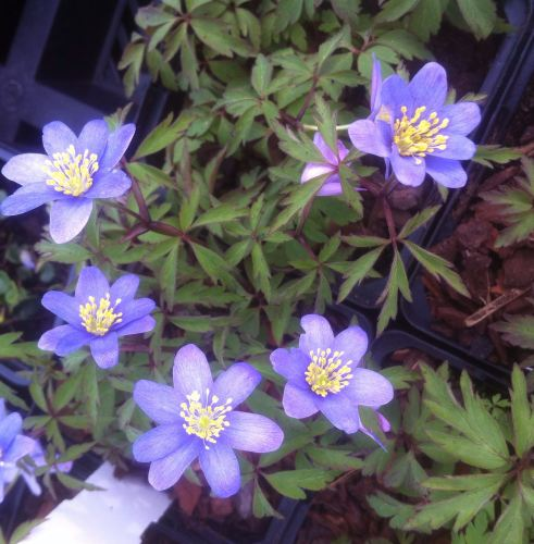 Anemone nemerosa \'Royal Blue\'
