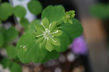 anemonella thalictroides 'Green Hurricane'