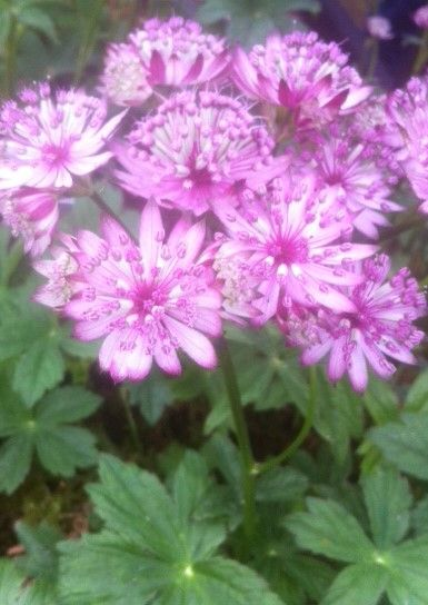 Astrantia Sparkling stars available 7th July