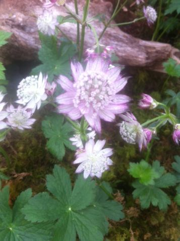 Astrantia major 'April love'