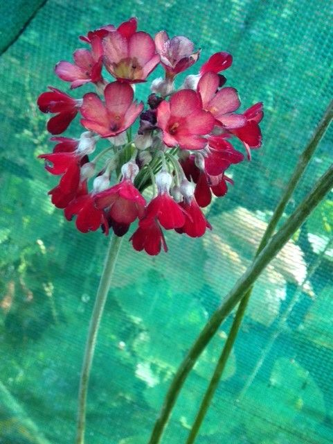 Primula florindae 'Red Shades'