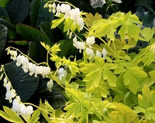 Dicentra 'White Gold'
