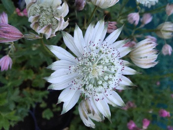 Astrantia major 'Sparkling Stars White'