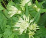 Astrantia major subsp. invoucrata 'Shaggy'