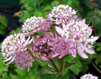 Astrantia 'Star of Royals' [PBR]