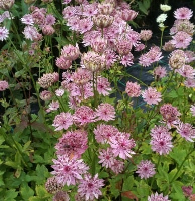 Astrantia major 'Pink Pride'