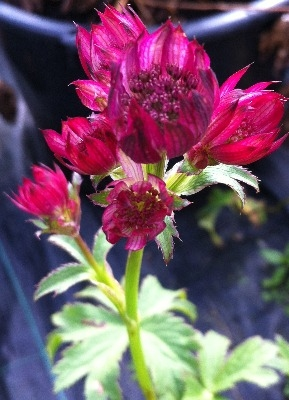 Astrantia major 'Ruby Wedding'