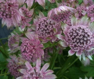 Astrantia major 'Penny's Pink'