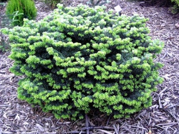 This is a lovely, dwarf evergreen conifer with a densely-branched, rounded growth habit. It is a compact, broad and mound-like conifer with tidy green