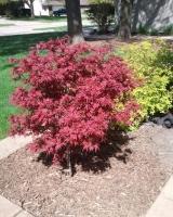 Acer palmatum pixie