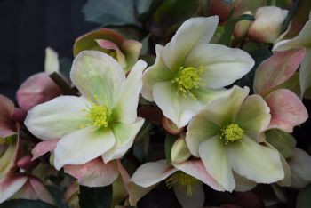Helleborus Winter`Sunshine 3L POT