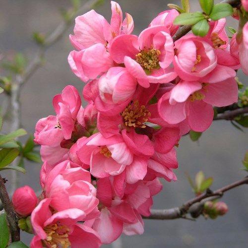 Chaenomeles superba 'Pink Trail' Interpitra - Japanese Quince