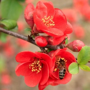Chaenomeles japonica 'Sargentii' Flowering Quince, Japanese Quince, Japonica