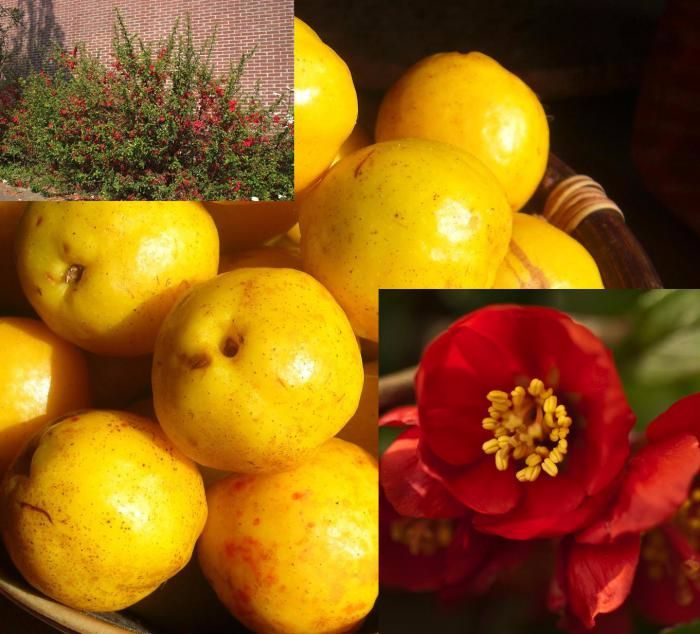 Chaenomeles x superba Crimson and Gold (japanese quince)