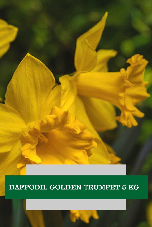DAFFODILS GOLDEN TRUMPETS 5 KG