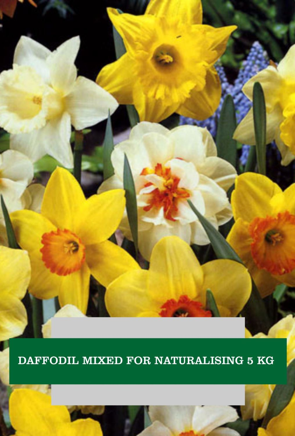 DAFFODILS MIXED FOR NATURALISING 5 KG