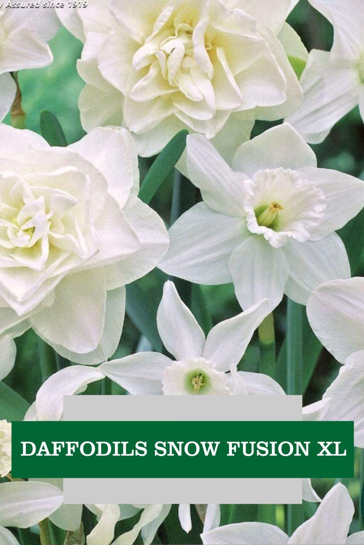 DAFFODIL SNOW FUSION XL
