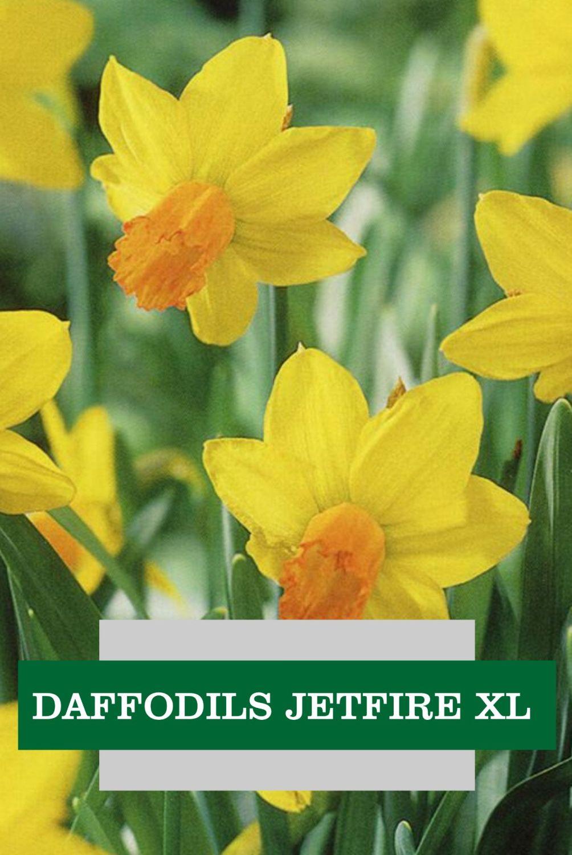 DAFFODILS JETFIRE XL