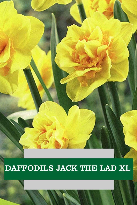 DAFFODILS JACK THE LAD XL
