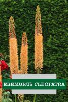 EREMURUS CLEOPATRA