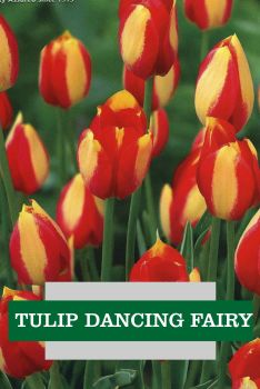 TULIP DANCING FAIRY