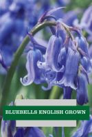 BLUEBELLS ENGLISH GROWN