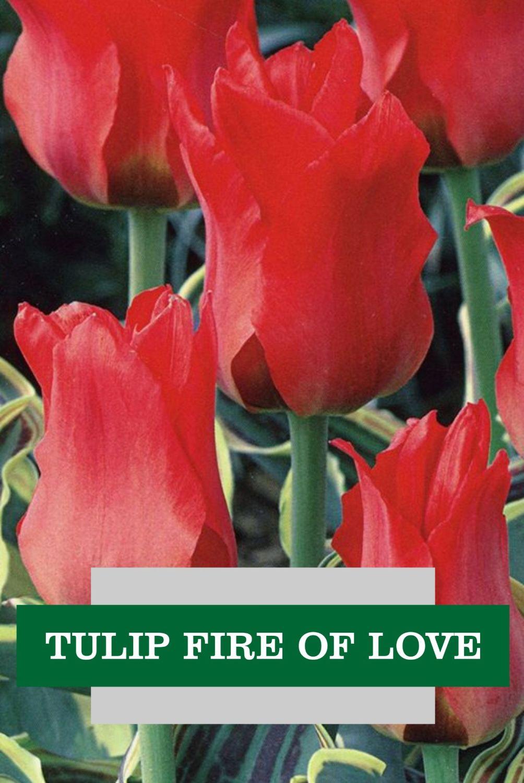 TULIP FIRE OF LOVE
