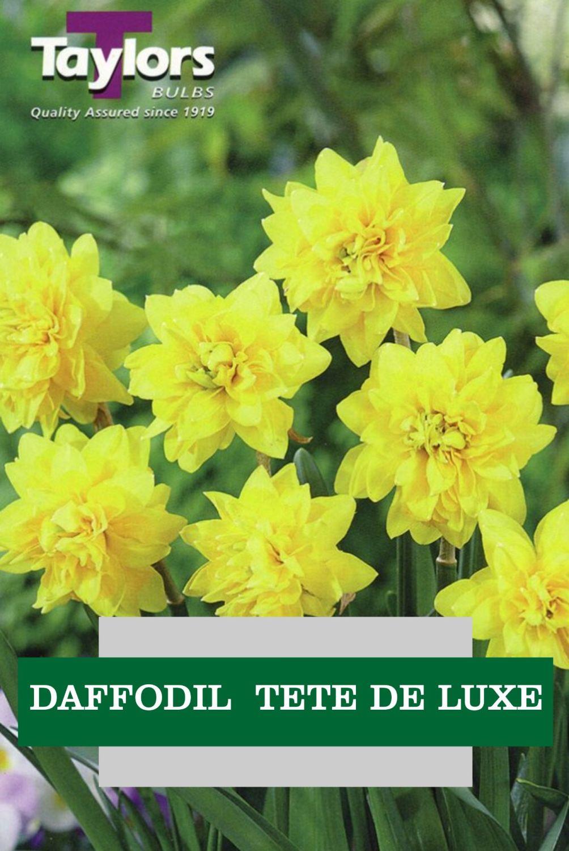 DAFFODILS TETE DE LUXE