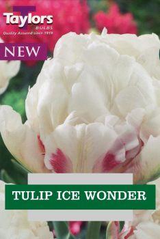 TULIP ICE WONDER