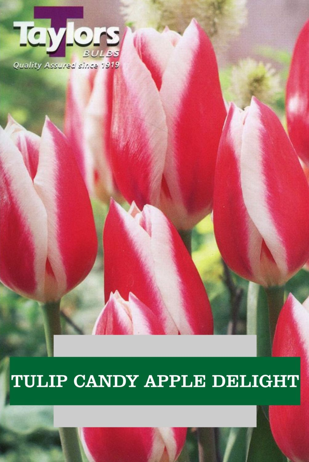 TULIP CANDY APPLE DELIGHT
