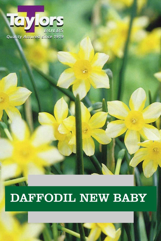 DAFFODIL NEW BABY