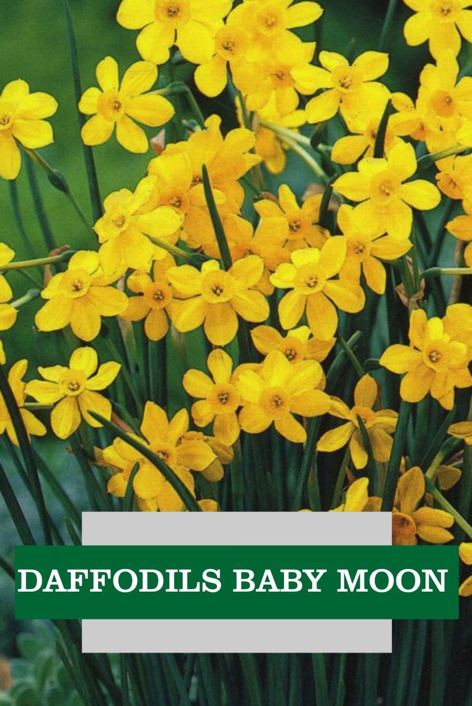 DAFFODILL BABY MOON
