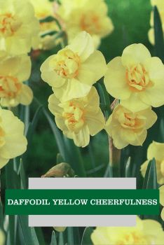 DAFFODIL YELLOW CHEERFULNESS