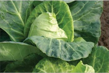 CABBAGE HISPI