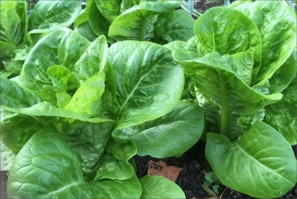 LETTUCE LITTLE GEM  FORTALEZA