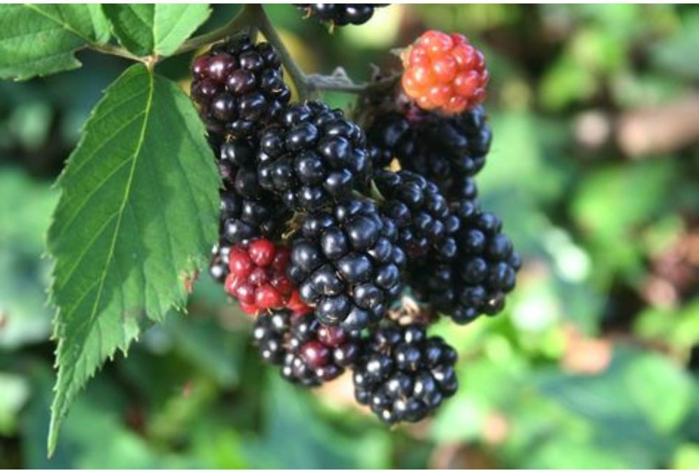 BLACKBERRY RUDUS FRUTICOSUS THORNFREE