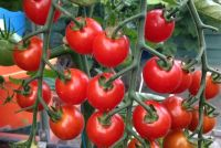 TOMATO SUPERSWEET