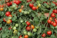 TOMATO RED PROFUSION