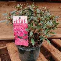 AZALEA JAPONICA HOT SHOT