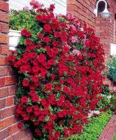 Petunia x atkinsianaSurfinia®Scarlet Red