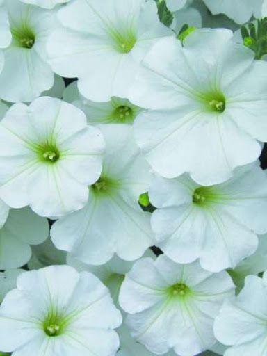 Petunia x atkinsianaSurfinia® Snow