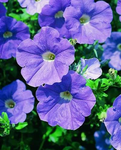 Petunia x atkinsiana Surfinia® Sky Blue