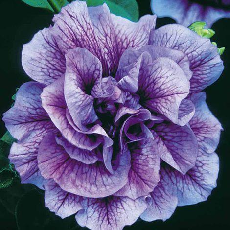 Petunia x atkinsianTumbelina® Priscilla